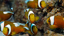 Saddleback Clownfish, Anilao