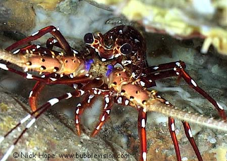 Lobster Underwater Long-legged spiny lobsters