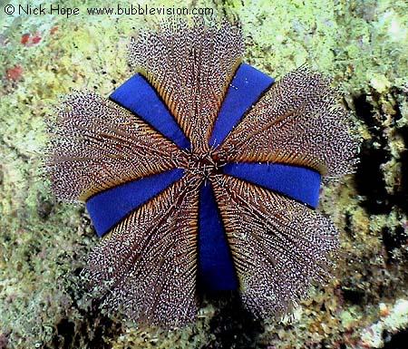Blue tuxedo sea urchin mespilia globulus at bida nai