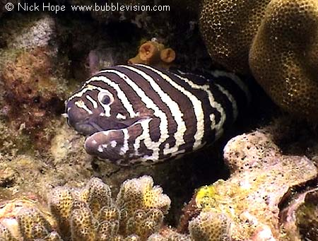 Zebra moray eel at shark point previous underwater pictures index